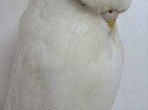 1st Albino