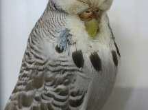 1st Hen